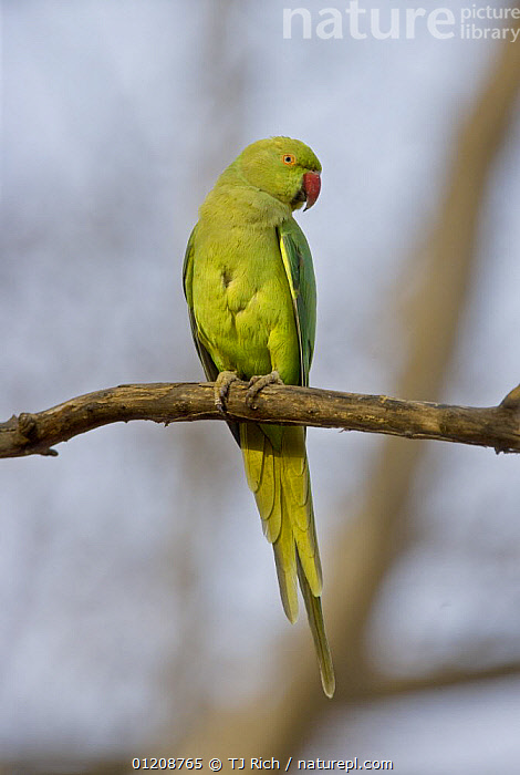 Rose ringed / Ring-necked Parakeet {Psittacula krameri} perched, Ranthambhore NP, Rajasthan, India  ,  ASIA,BIRDS,INDIA,PARROTS,RESERVE,VERTEBRATES,VERTICAL  ,  TJ Rich