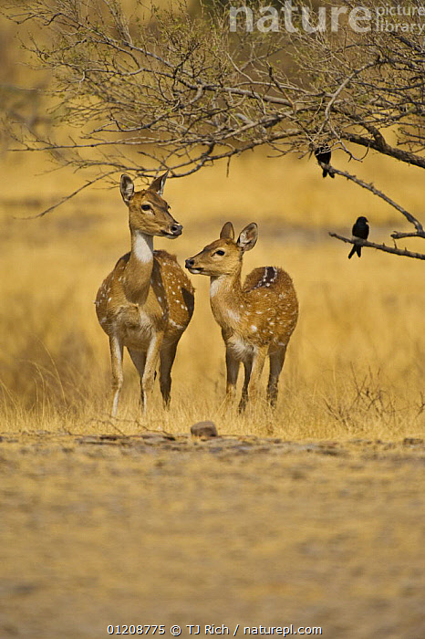 Chital / Spotted Deer {Cervus / Axis axis} mother and young, Ranthambhore NP, Rajasthan, India  ,  ARTIODACTYLA,ASIA,CERVIDS,DEER,INDIA,MAMMALS,MOTHER BABY,RESERVE,VERTEBRATES,VERTICAL  ,  TJ Rich