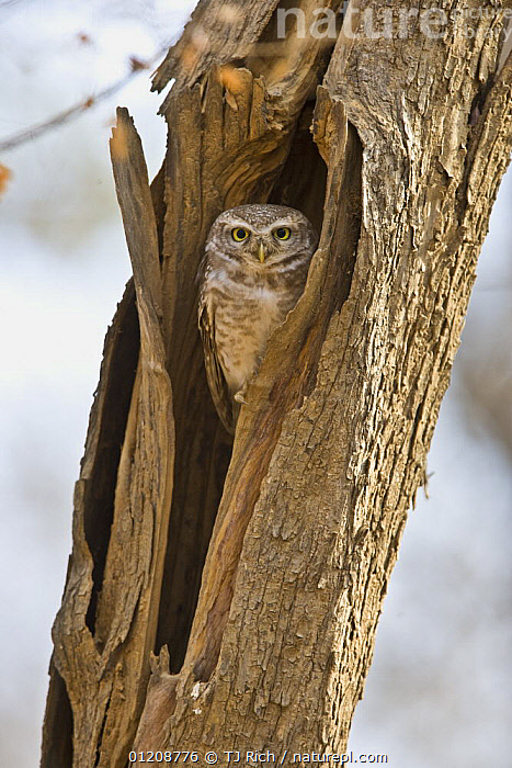 Spotted Owlet {Athene brama} in nest hole, Ranthmbhore NP, Rajasthan, India  ,  ASIA,BIRDS,BIRDS OF PREY,INDIA,NESTS,OWLS,RESERVE,TRUNKS,VERTEBRATES,VERTICAL  ,  TJ Rich