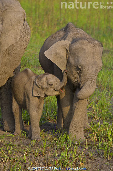 Indian Elephant {Elaphus maximus} mother with 5-day baby and its older sibling, controlled conditions, Kaziringa NP, Assam, India  ,  ASIA,BABIES,CUTE,ELEPHANTS,FAMILIES,INDIA,JUVENILE,MAMMALS,PROBOSCIDS,RESERVE,VERTEBRATES,VERTICAL  ,  TJ Rich