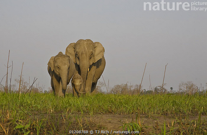 Indian Elephant {Elaphus maximus} mother with 5-day baby and its older sibling, controlled conditions, Kaziringa NP, Assam, India  ,  ASIA,ELEPHANTS,FAMILIES,GROUPS,INDIA,MAMMALS,MOTHER BABY,PROBOSCIDS,RESERVE,THREE,VERTEBRATES  ,  TJ Rich