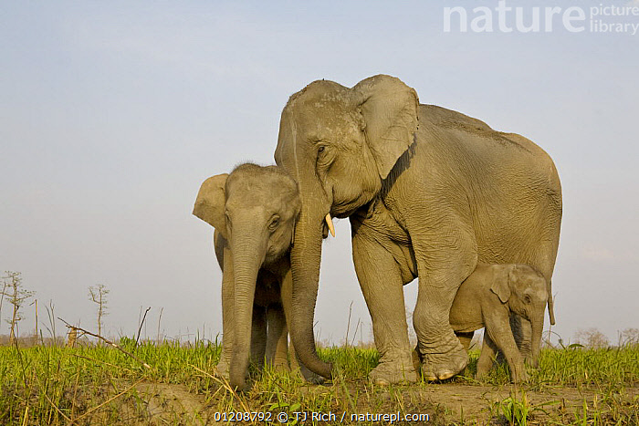 Indian Elephant {Elaphus maximus} mother with 5-day baby and its older sibling, controlled conditions, Kaziringa NP, Assam, India  ,  ASIA,BABIES,ELEPHANTS,FAMILIES,GROUPS,INDIA,MAMMALS,MOTHER BABY,PROBOSCIDS,RESERVE,THREE,VERTEBRATES  ,  TJ Rich