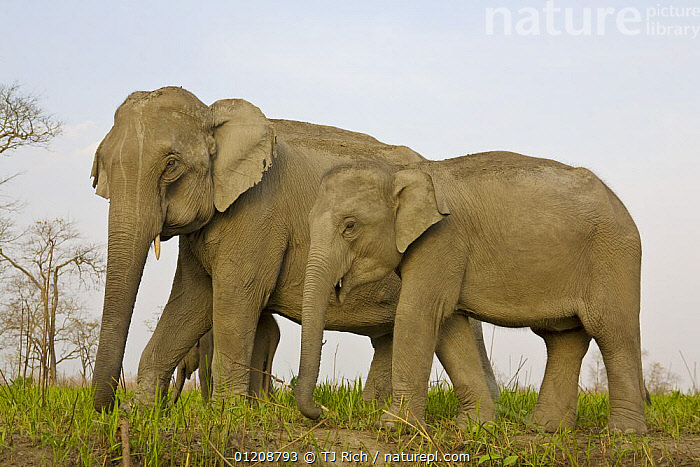 Indian Elephant {Elaphus maximus} mother with 5-day baby and its older sibling, controlled conditions, Kaziringa NP, Assam, India  ,  ASIA,ELEPHANTS,GROUPS,INDIA,JUVENILE,MAMMALS,MOTHER BABY,PROBOSCIDS,RESERVE,THREE,VERTEBRATES  ,  TJ Rich