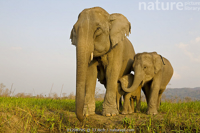 Indian Elephant {Elaphus maximus} mother with 5-day baby and its older sibling, controlled conditions, Kaziringa NP, Assam, India  ,  ASIA,BABIES,ELEPHANTS,GROUPS,INDIA,JUVENILE,MAMMALS,MOTHER BABY,PROBOSCIDS,RESERVE,THREE,VERTEBRATES  ,  TJ Rich