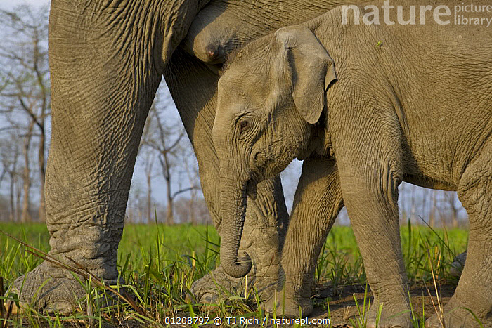 Indian Elephant {Elaphus maximus} mother with 5-day baby, controlled conditions, Kaziringa NP, Assam, India  ,  ASIA,ELEPHANTS,FAMILIES,INDIA,MAMMALS,MOTHER BABY,NIPPLE,PROBOSCIDS,RESERVE,VERTEBRATES  ,  TJ Rich