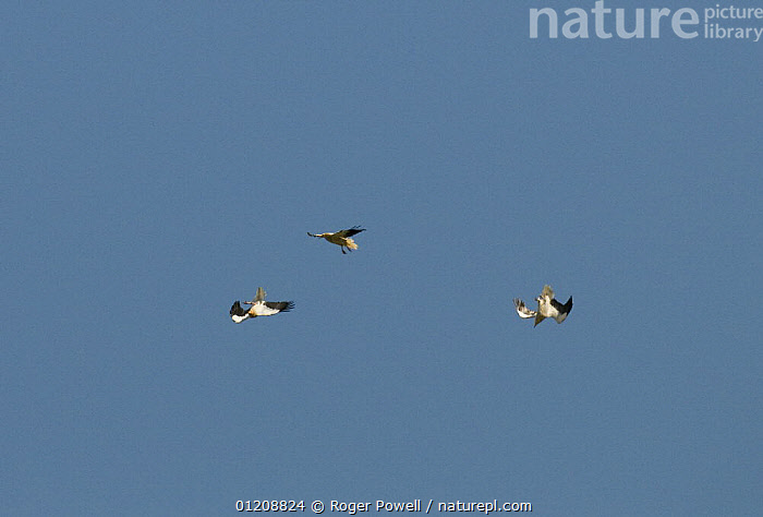 Two male Egyptian Vultures {Neophron percnopterus} displaying to a female (above), River Tejo, Portugal  ,  BIRDS,COURTSHIP,DISPLAY,EUROPE,INTERESTING,MALE FEMALE PAIR,MATING BEHAVIOUR,PORTUGAL,TUMBLING,VERTEBRATES,VULTURES,Reproduction,Communication  ,  Roger Powell