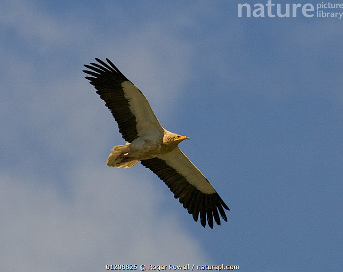 Egyptian Vulture {Neophron percnopterus} in flight, River Tejo, Portugal  ,  BIRDS,EUROPE,FLYING,PORTUGAL,SILHOUETTES,SOARING,VERTEBRATES,VULTURES  ,  Roger Powell