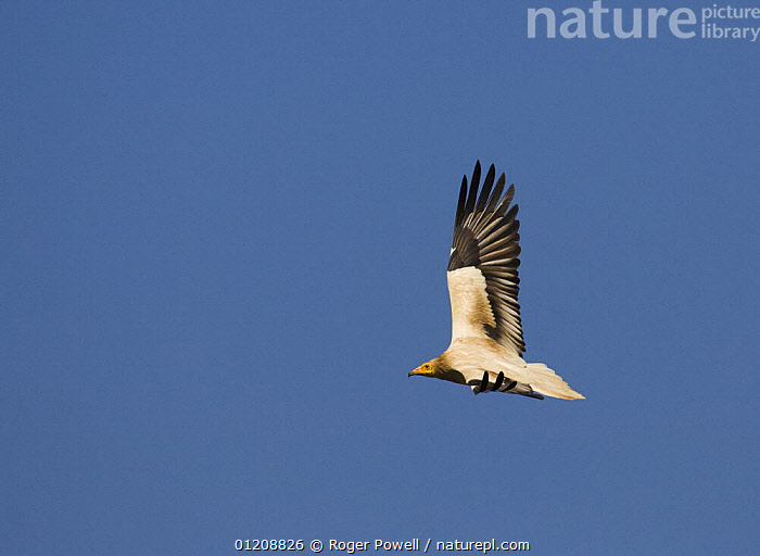 Egyptian Vulture {Neophron percnopterus} in flight, soaring on a thermal, River Tejo, Portugal  ,  BEHAVIOUR,BIRDS,EUROPE,FLYING,PORTUGAL,SOARING,VERTEBRATES,VULTURES  ,  Roger Powell