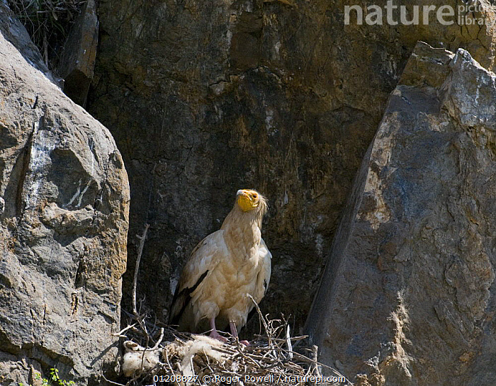 Egyptian Vulture {Neophron percnopterus} at nest, River Tejo, Portugal  ,  BIRDS,CLIFFS,EUROPE,NESTS,PORTUGAL,VERTEBRATES,VULTURES,Geology  ,  Roger Powell