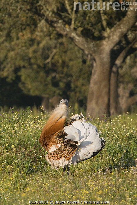 Great Bustard {Otis tarda} male displaying to female at lek, Evora, Portugal  ,  BIRDS,BUSTARDS,COURTSHIP,DISPLAY,DISPLAYING,EUROPE,MALE FEMALE PAIR,MALES,MATING BEHAVIOUR,PORTUGAL,VERTEBRATES,VERTICAL,VULNERABLE,Reproduction,Communication  ,  Roger Powell