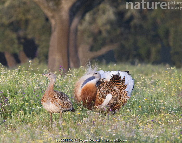 Great Bustard {Otis tarda} male displaying to female at lek, Evora, Portugal  ,  BIRDS,BUSTARDS,COURTSHIP,DEHESA,DISPLAY,EUROPE,MALE FEMALE PAIR,MATING BEHAVIOUR,PORTUGAL,VERTEBRATES,VULNERABLE,Reproduction,Communication  ,  Roger Powell