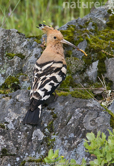 Hoopoe {Upupa epops} male enticing female to possible nest-site by offering food, Castelo Branco, Portugal  ,  BIRDS,CATERPILLAR,COURTSHIP,EUROPE,HOOPOES,INSECTS,LARVAE,MALES,MATING BEHAVIOUR,PORTUGAL,VERTEBRATES,VERTICAL,Reproduction,Invertebrates  ,  Roger Powell