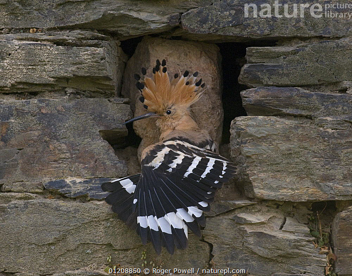 Hoopoe {Upupa epops} stretching wings at entrance to nest site in wall, Castelo Branco, Portugal  ,  BEHAVIOUR,BIRDS,EUROPE,HOOPOES,PORTUGAL,STRETCHING,VERTEBRATES  ,  Roger Powell