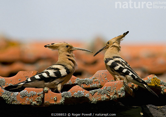 Hoopoe {Upupa epops} male (on right) displays to female, Castelo Branco, Portugal  ,  BIRDS,BUILDINGS,COURTSHIP,EUROPE,HOOPOES,MALE FEMALE PAIR,MATING BEHAVIOUR,PORTUGAL,VERTEBRATES,Reproduction  ,  Roger Powell