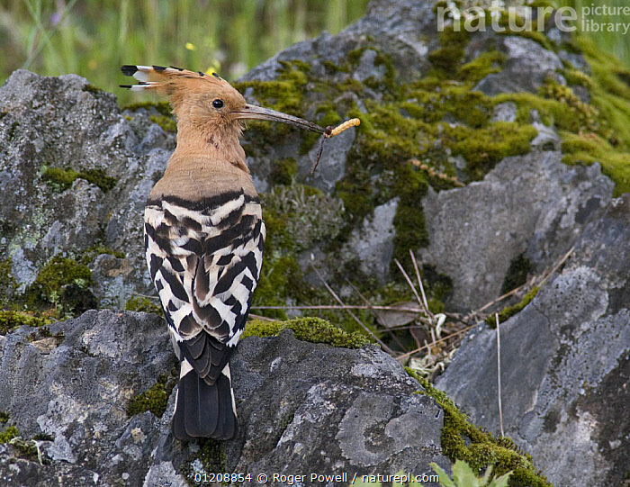 Hoopoe {Upupa epops} male enticing female to possible nest-site by offering food, Castelo Branco, Portugal  ,  BIRDS,CATERPILLAR,COURTSHIP,EUROPE,HOOPOES,LARVAE,MALES,MATING BEHAVIOUR,PORTUGAL,VERTEBRATES,VERTICAL,Reproduction  ,  Roger Powell