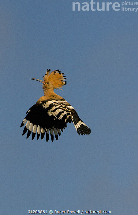 Hoopoe {Upupa epops} male in flight with crest raised in aggressive display, Castelo Branco, Portugal  ,  AGGRESSION,BEHAVIOUR,BIRDS,DISPLAY,EUROPE,FLYING,HOOPOES,MALES,PORTUGAL,VERTEBRATES,VERTICAL,Concepts,Communication  ,  Roger Powell