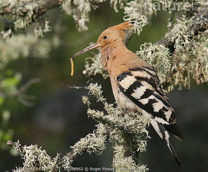 Hoopoe {Upupa epops} male enticing female by offering food, Castelo Branco, Portugal  ,  ADVERTISING,BIRDS,CALLING,CATERPILLAR,COURTSHIP,EUROPE,HOOPOES,INSECTS,LARVAE,LICHEN,MATING BEHAVIOUR,PORTUGAL,VERTEBRATES,Reproduction,Invertebrates  ,  Roger Powell