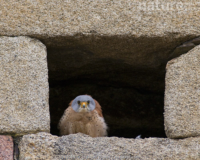 Lesser Kestrel {Falco naumanni} male at nest site in church wall, looking out for returning female, Alcantara, Spain  ,  BEHAVIOUR,BIRDS OF PREY,BUILDINGS,CONCENTRATING,EUROPE,FALCONS,GAZE,MALES,NESTS,SPAIN,VERTEBRATES  ,  Roger Powell