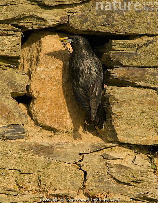 Spotless Starling {Sturnus unicolor} bringing nesting material to its nest site in an old stone wall, Castelo Branco, Portugal  ,  BEHAVIOUR,BIRDS,BUILDINGS,EUROPE,NEST BUILDING,NESTING,NESTS,PORTUGAL,STARLINGS,VERTEBRATES,VERTICAL,WALLS  ,  Roger Powell