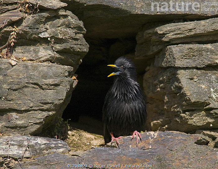 Spotless Starling {Sturnus unicolor} singing from its nest site in old stone wall, Castelo Branco, Portugal  ,  BEHAVIOUR,BIRDS,BUILDINGS,DISPLAY,EUROPE,PORTUGAL,SINGING,STARLINGS,TERRITORIAL,VERTEBRATES,VOCALISATION,Communication  ,  Roger Powell