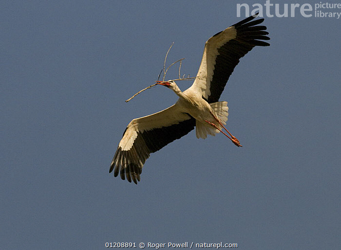 White Stork {Ciconia ciconia} in flight carrying nesting material, Alcantara, Spain  ,  BIRDS,CUTOUT,EUROPE,FLYING,LOW ANGLE SHOT,NESTING BEHAVIOUR,SILHOUETTES,SPAIN,STORKS,VERTEBRATES,Reproduction  ,  Roger Powell