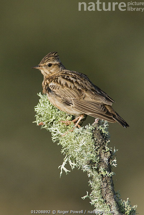 Woodlark {Lullula arborea} on lichen covered branch, Castelo Branco, Portugal  ,  BIRDS,EUROPE,LARKS,PORTRAITS,PORTUGAL,VERTEBRATES,VERTICAL  ,  Roger Powell