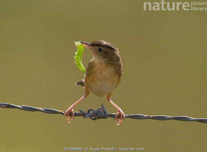 Fan-tailed warbler / Zitting Cisticola {Cisticola juncidis} with large green caterpillar in beak, Evora, Portugal  ,  BARBED WIRE,BIRDS,CISTICOLAS,EUROPE,FEEDING,INSECTS,LARVAE,LEPIDOPTERA,PORTUGAL,VERTEBRATES,WARBLERS,Invertebrates  ,  Roger Powell