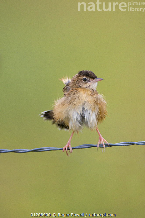 Fan-tailed warbler / Zitting Cisticola {Cisticola juncidis} perched on wire, fluffing feathers out after bathing, Evora, Portugal, BATHING,BEDRAGGLED,BEHAVIOUR,BIRDS,CISTICOLAS,EUROPE,FLUFFY,HUMOROUS,PORTUGAL,VERTEBRATES,VERTICAL,WARBLERS,Concepts, Roger Powell