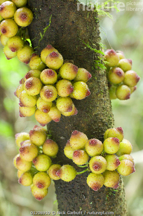 Fruits of Fig {Ficus sp} growing directly from trunk (cauliflory), Ranomafana National Park, SE Madagascar.  ,  DICOTYLEDONS,FRUIT,MADAGASCAR,MORACEAE,PLANTS,RESERVE,TROPICAL RAINFOREST,VERTICAL  ,  Nick Garbutt
