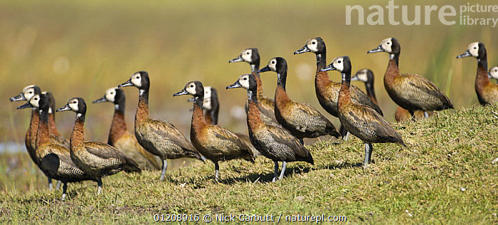 Flock of White-faced Whistling Duck (Dendrocygna viduata) Okavango Delta, Botswana.  ,  BIRDS,BOTSWANA,DUCKS,GROUPS,PANORAMIC,SOUTHERN AFRICA,VERTEBRATES,WATERFOWL,WHISTLING DUCKS  ,  Nick Garbutt
