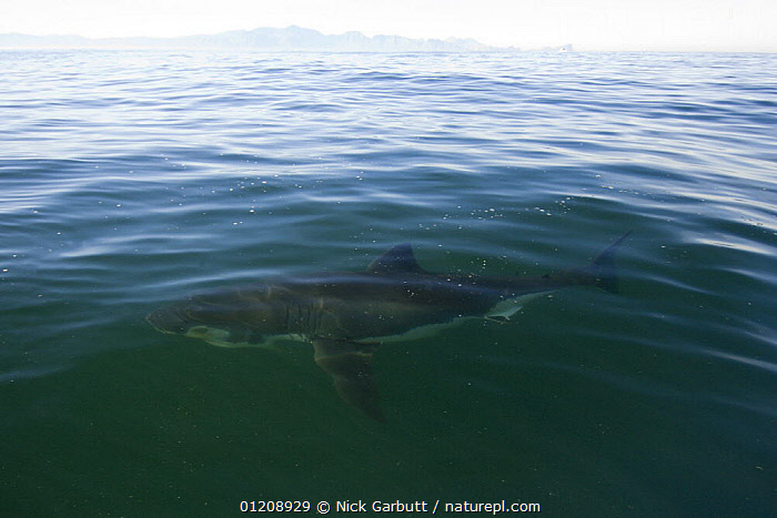 Great White Shark (Carcharodon carcharias) just below water surface, off Seal Island in False Bay, Cape, South Africa.  ,  CHONDRICHTHYES,COASTAL WATERS,FISH,MARINE,SHARKS,SOUTHERN AFRICA,TEMPERATE,VERTEBRATES  ,  Nick Garbutt
