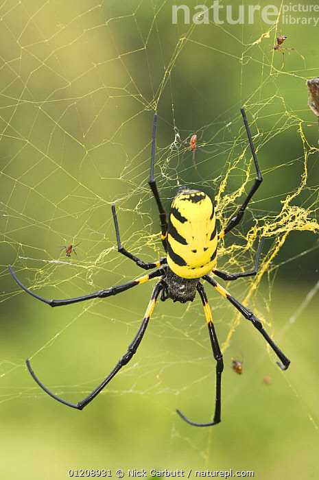 Female Giant Orb-web Spider (possibly Nephila sp) at Langoue Bai, Ivindo National Park, Gabon, Central Africa.  ,  ARACHNIDS,ARTHROPODS,CENTRAL AFRICA,INVERTEBRATES,ORB WEAVER SPIDERS,RESERVE,SPIDERS,VERTICAL,WEBS,YELLOW,Africa  ,  Nick Garbutt