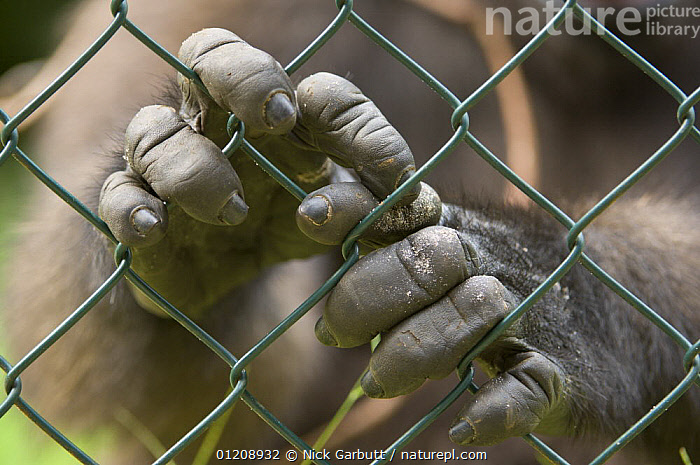 Hands of Young Western Lowland Gorilla (Gorilla gorilla gorilla) captive, orphaned by bushmeat hunters. Evengue, Gabon, Central Africa. February 2008.  ,  CAGES,CENTRAL AFRICA,DIGITS,ENDANGERED,GREAT APES,MAMMALS,PRIMATES,VERTEBRATES,Africa  ,  Nick Garbutt
