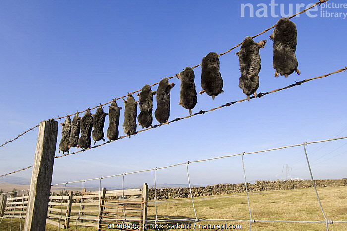 Bodies of European Mole (Talpo europaea) strung up on fence, killed by farmer / gamekeeper. Shap Fell, Lake District, Cumbria, UK.  ,  DEATH,EUROPE,INSECTIVORES,MAMMALS,MOLES,PESTS,UK,VERTEBRATES,United Kingdom,British  ,  Nick Garbutt