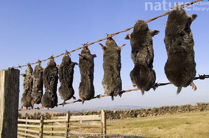 Bodies of European Mole (Talpo europaea) strung up on fence, killed by farmer / gamekeeper. Shap Fell, Lake District, Cumbria, UK.  ,  DEATH,EUROPE,GROUPS,INSECTIVORES,MAMMALS,MOLES,PESTS,UK,VERTEBRATES,United Kingdom,British  ,  Nick Garbutt