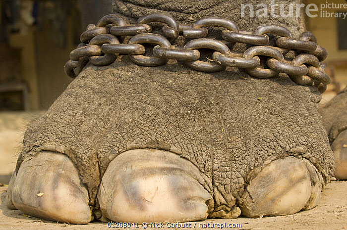 Close-up of foot of chained domestic Asian Elephant (Elephas maximus) Royal Chitwan National Park, Nepal.  ,  ASIA,CAPTIVITY,CHAIN,CHAINS,CLOSE UPS,ELEPHANTS,ENDANGERED,FEET,MAMMALS,NEPAL,PROBOSCIDS,RESERVE,TOENAILS,TOES,VERTEBRATES,Catalogue1  ,  Nick Garbutt