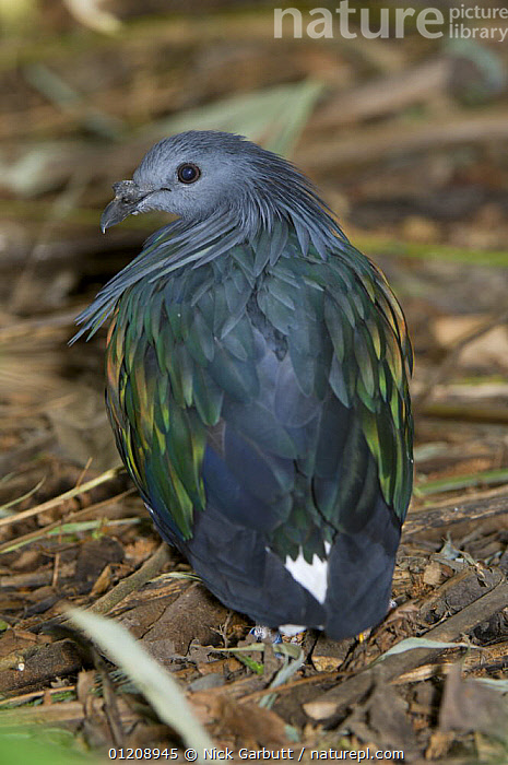 Male Nicobar Pigeon (Caloenas nicobarica) captive, from small offshore islands in SE Asia / Indonesia, including Borneo. Jersey Zoo.  ,  BIRDS,COLUMBIFORMES,DOVES,MALES,VERTEBRATES,VERTICAL  ,  Nick Garbutt