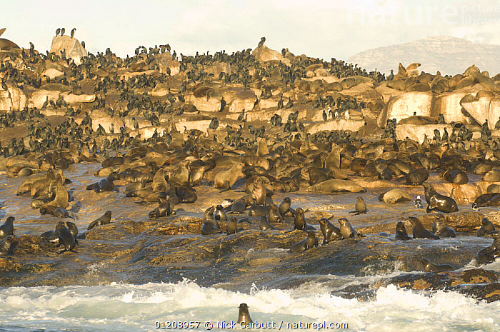 Colony of Cape Fur Seals (Arctocephalus pusillus) on Seal Island in False Bay, Cape, South Africa.  ,  CAPE FUR SEAL,CARNIVORES,COASTS,FUR SEALS,GROUPS,MAMMALS,MASS,PINNIPEDS,SEAL,SOUTHERN AFRICA,VERTEBRATES, CARNIVORES , CARNIVORES  ,  Nick Garbutt