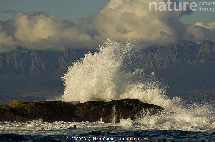 Waves crashing on rocks and Cape Fur Seals (Arctocephalus pusillus) in the surf off Seal Island in False Bay, Cape, South Africa.  ,  ACTION,COASTS,SEAL,SOUTHERN AFRICA,SPRAY  ,  Nick Garbutt