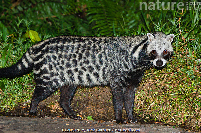 African Civet (Civettictis civetta) foraging around camp, near Langoue Bai, Ivindo National Park, Gabon, Central Africa.  ,  black and white,CARNIVORES,CENTRAL AFRICA,CIVETS,MAMMALS,NIGHT,PORTRAITS,VERTEBRATES  ,  Nick Garbutt