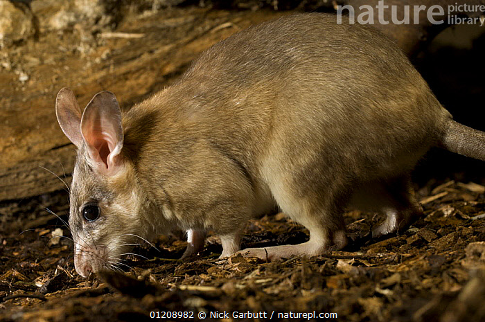 Adult Giant Jumping Rat (Hypogeomys antimena) captive, from Menabe / Kirindy Forest, western Madagascar. Taken under controlled conditions at Durrell Wildlife in Jersey.  ,  ENDANGERED,ENDEMIC,MADAGASCAR,MAMMALS,RATS,RODENTS,VERTEBRATES  ,  Nick Garbutt