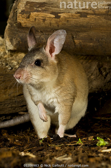 Adult Giant Jumping Rat (Hypogeomys antimena) captive, from Menabe / Kirindy Forest, western Madagascar. Taken under controlled conditions at Durrell Wildlife in Jersey.  ,  ENDANGERED,ENDEMIC,MADAGASCAR,MAMMALS,PORTRAITS,RATS,RODENTS,VERTEBRATES,VERTICAL  ,  Nick Garbutt