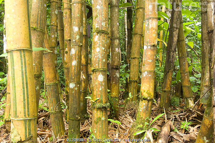 Stands of Giant Bamboo (Cathariostachys madagascariensis) growing in lowland rainforest. Masoala National Park, NE Madagascar.  ,  BAMBOO,ENDEMIC,GRAMINEAE,MADAGASCAR,MONOCOTYLEDONS,PLANTS,RESERVE,STEMS,TRUNKS  ,  Nick Garbutt
