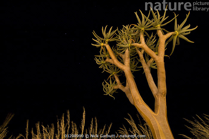 Quiver tree / Kokerboom (Aloe dichotoma) at night. Namibrand Nature Reserve, on the edge of the Sossusvlei dunes, Namib Desert, Namibia.  ,  ARTY,DESERTS,LILIACEAE,MONOCOTYLEDONS,PLANTS,SOUTHERN AFRICA,TREES,Catalogue1  ,  Nick Garbutt
