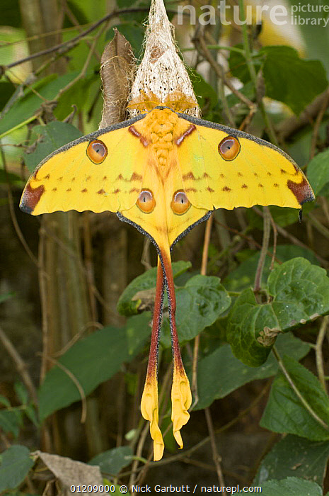 Adult male Comet Moth (Argema mittei) hanging from cocoon from where it recently emerged. Mantadia National Park, East Madagascar.  ,  EMPEROR MOTHS,ENDEMIC,INSECTS,INVERTEBRATES,LARGE,LEPIDOPTERA,MADAGASCAR,METAMORPHOSIS,MOTHS,SIZE,TROPICAL RAINFOREST,VERTICAL,YELLOW,Growth,Concepts  ,  Nick Garbutt