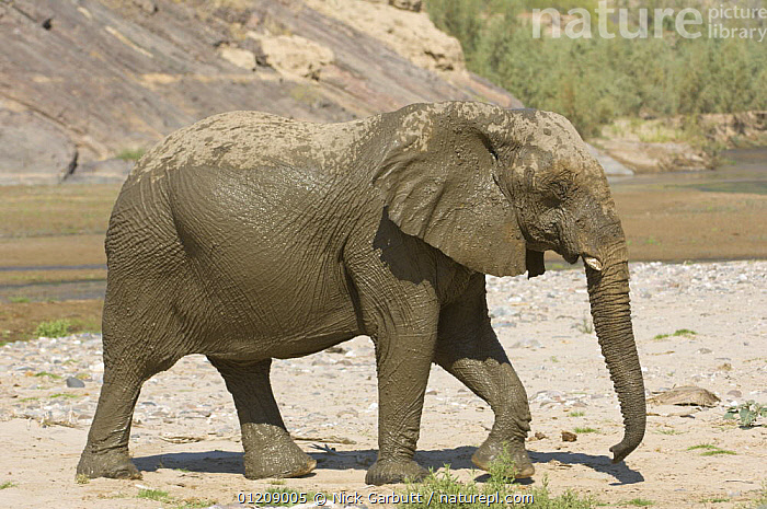Desert Elephant (Loxodonta africana) after bathing in the dry bed of the Hoarusib River, Skeleton Coast, Namibia. July 2008.  ,  DESERTS,ELEPHANTS,MAMMALS,NAMIBIA,PROBOSCIDS,PROFILE,RESERVE,RIVERS,SOUTHERN AFRICA,VERTEBRATES,WALKING  ,  Nick Garbutt