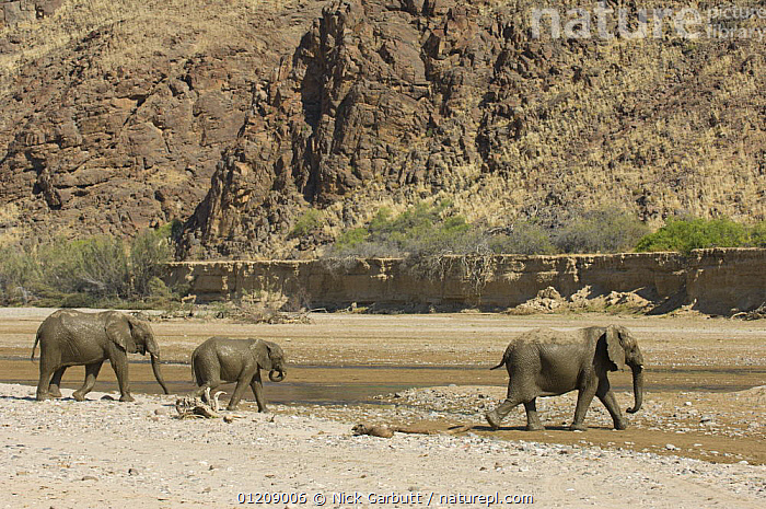 Desert Elephants (Loxodonta africana) in the dry bed of the Hoarusib River, Skeleton Coast, Namibia. July 2008.  ,  BABIES,DESERTS,DRINKING,ELEPHANTS,FAMILIES,LANDSCAPES,MAMMALS,NAMIBIA,PROBOSCIDS,RESERVE,RIVERS,SOUTHERN AFRICA,THREE,VERTEBRATES,WATER  ,  Nick Garbutt
