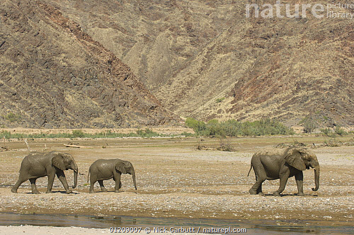 Desert Elephants (Loxodonta africana) in the dry bed of the Hoarusib River, Skeleton Coast, Namibia. July 2008.  ,  BABIES,DESERTS,ELEPHANTS,FAMILIES,GROUPS,LANDSCAPES,MAMMALS,NAMIBIA,PROBOSCIDS,RESERVE,RIVERS,SOUTHERN AFRICA,VERTEBRATES,WATER  ,  Nick Garbutt