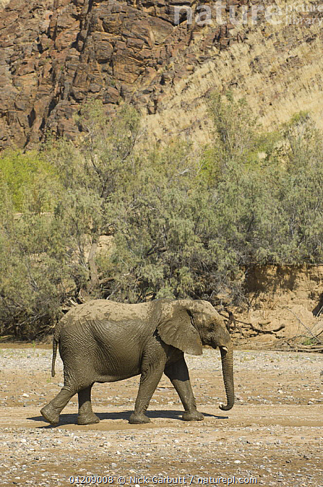 Desert Elephant (Loxodonta africana) in the dry bed of the Hoarusib River, Skeleton Coast, Namibia. July 2008.  ,  DESERTS,ELEPHANTS,LANDSCAPES,MAMMALS,NAMIBIA,PROBOSCIDS,RESERVE,SOUTHERN AFRICA,VERTEBRATES,VERTICAL  ,  Nick Garbutt