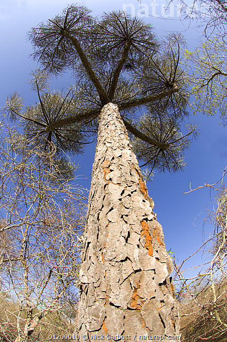 Looking up Giant Euphorbia tree (Euphorbia sp) in Ifaty Spiny Forest, SW Madagascar.  ,  ARTY,BARK,DICOTYLEDONS,ENDEMIC,EUPHORBIACEAE,MADAGASCAR,PLANTS,SOUTHERN AFRICA,TALL,TRUNKS  ,  Nick Garbutt